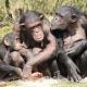 Chimpansee-Beekse-bergen