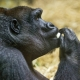 Eating female gorilla