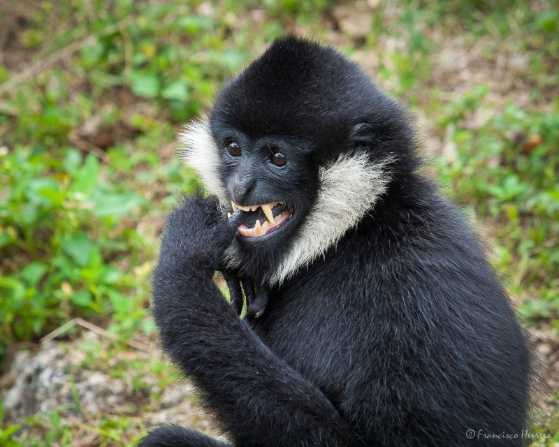 Henry The Gibbon looking very cute