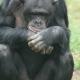 A chimpanzee at taronga zoo having a real thinking session