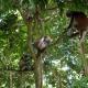 Zanzibar red colobus monkeys up in a tree
