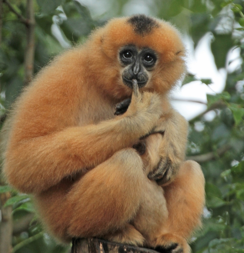 Am I a confused Gibbon?