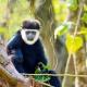 Northern-White-cheeked-Gibbon
