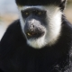 The-young-colobus