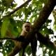Capuchin-Monkey-Cebus-Capuchinus