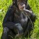 Young-chimpanzee-sitting
