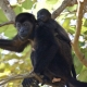 Howler Monkey baby on mums back
