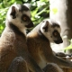 Ring-tailed-lemurs-2