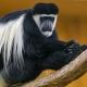 Long-hair-colobus