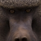 Close up of a big Baboon face