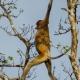 Clever monkey looks like he is tightrope walking