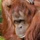 Bornean-Orangutan