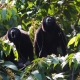 Singing Howler Monkeys