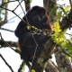 Mantled-Howler-Monkey-1-1