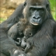 Mother gorilla with her two-month-old twins