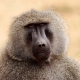Mr Baboon with long snout
