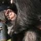 Sleepy-chimp