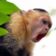 White-Faced-Capuchin-calling