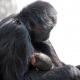 Zwarte-slingeraap-apenheul