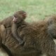 Piggy-Back-Ride-for-a-Baboon-Baby