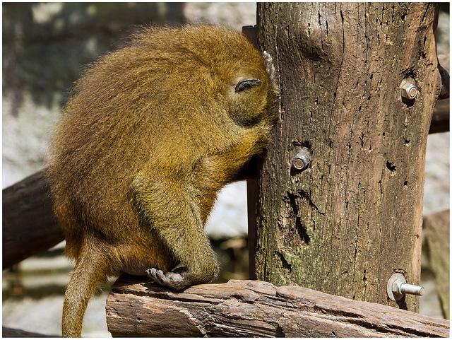 Baboon-with-a-headache