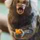 A cute marmoset eating some fruit!
