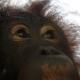 Orangutan-eye