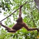Orangutan-15