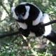 Ruffed-Lemur-1