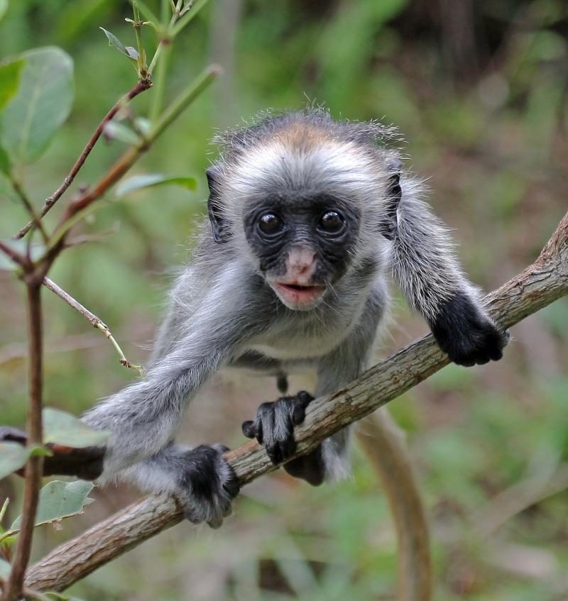 Baby Zanzibar Red Colobus Monkey