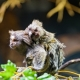 A cute scene of a mother marmoset with the baby on the back!