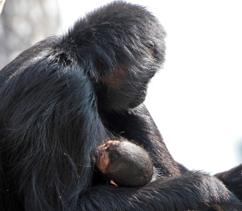Mother and child Spider monkey