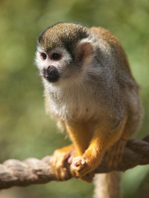 Squirrel-monkey-at-Colchester