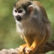 Squirrel-monkey-at-Colchester