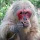 Gibbon picking at his teeth