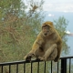 Barbary-Macaque