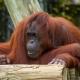 Orangutan at  Lowry Park Zoo
