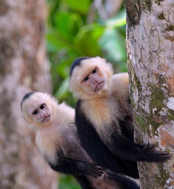 White-faced-Capuchin