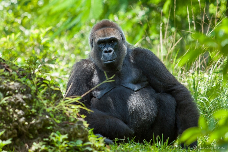 Lowland Gorilla in the USA