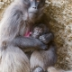 Mother-baboon-with-baby