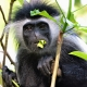 Wild-Colobus-Monkey-eating-leaves