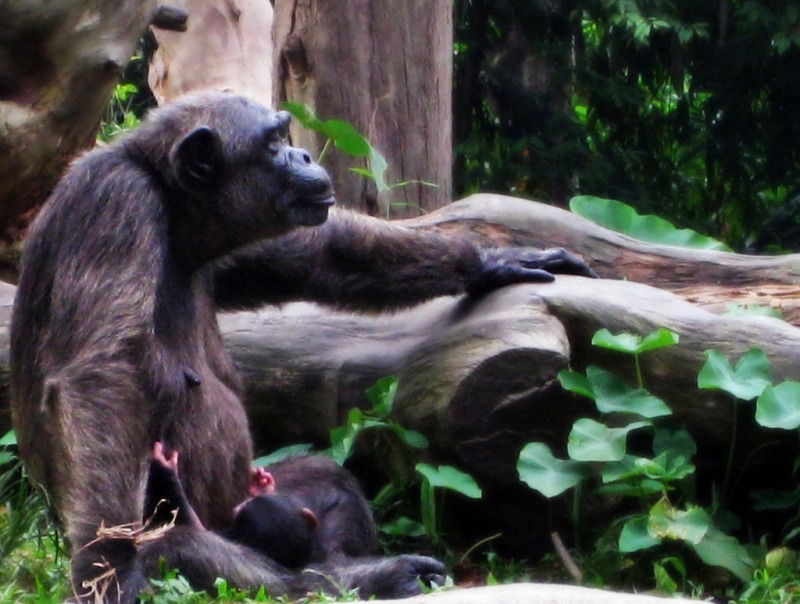 Its Not Easy Being A Parent  of a Chimpanzee