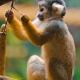 Playing-squirrel-monkey