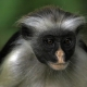 Zanzibar red colobus monkey  in Tanzania