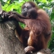 Protecting the second born Orangutan