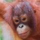 Orangutan-18