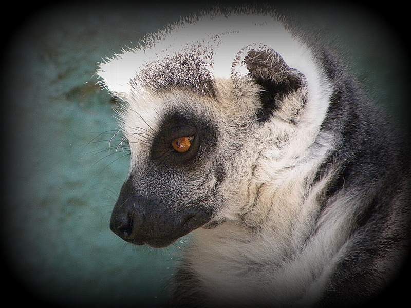 What a photogenic Lemur