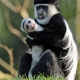 Colobus with the biggest hug