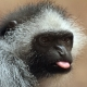 What a rude Colobus Monkey