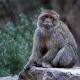 Barbary-Macaque-1